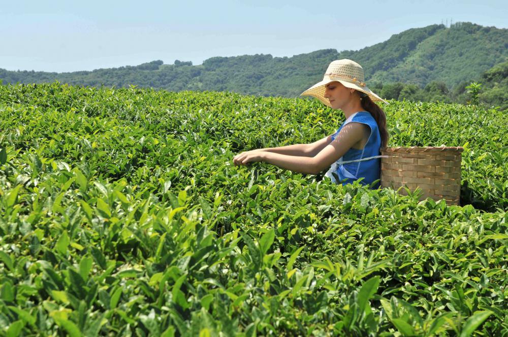 Кубанский чайный бренд продолжает собирать награды